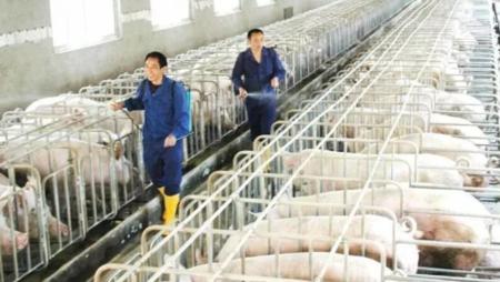 新希望:三因素致调低明年生猪出栏数
