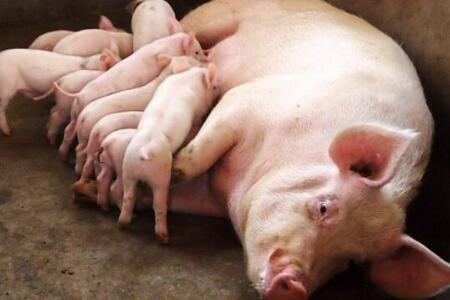 母猪产程长,怎么办?老养猪人教你一个安全实用的方法!