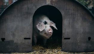 权威解读:吉林野猪检出非洲猪瘟病毒不影响生猪产品调出