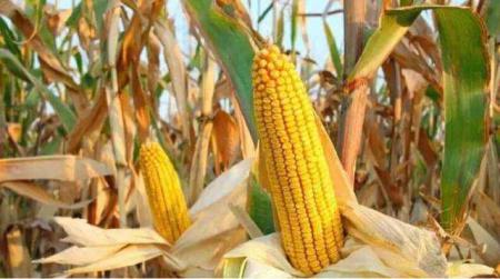 华北玉米价格高位震荡 东北产区玉米价格也迎头赶上