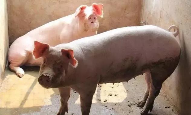2019年春节猪肉价格能达到多少元一斤?