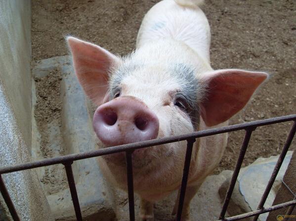 生猪最高亏损500元/头!调运受阻,生猪跨省运量却暴涨24.11%?