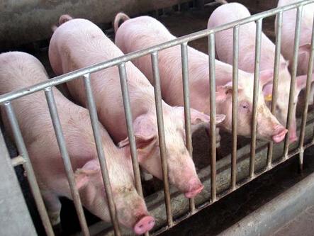 河北加强疫情防控保障京津猪肉供应!
