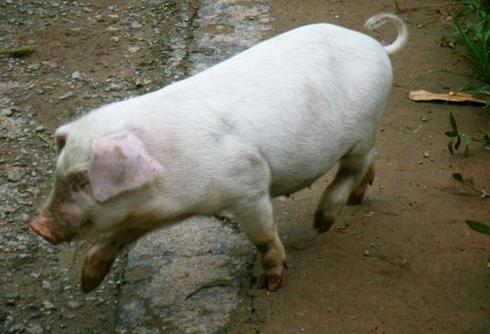 我养了24年猪!要问问国内的猪为何染上国外的病?