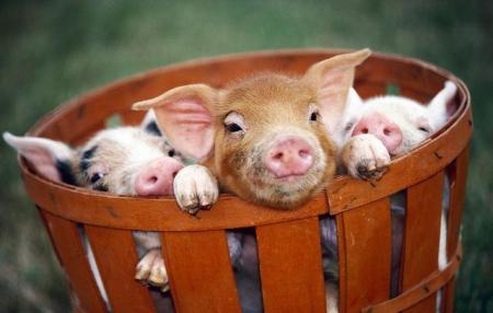 部分地区生猪消化有困难 猪价震荡调整