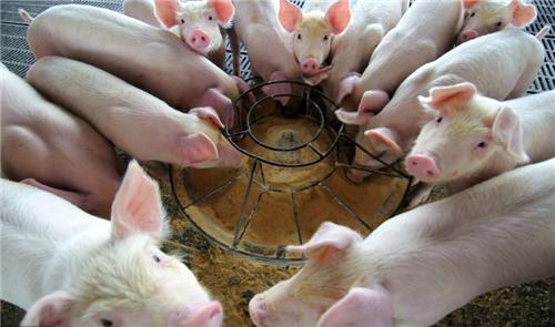 石榴皮还能治猪病,养猪户你知道么?