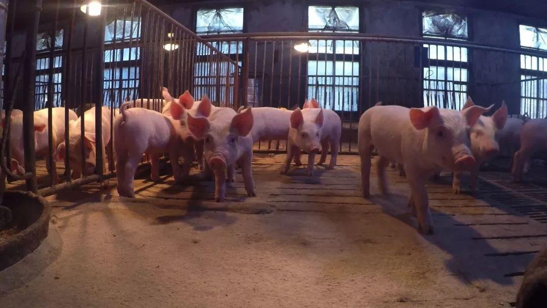 欠债900万后还能翻盘,一头猪卖6000块的事情是真实存在的吗?