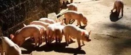 停工6周后的双汇:猪瘟谜题仍未解