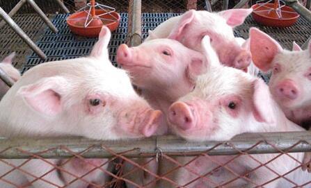 这样给猪断奶,即使不加药,小猪也不会腹泻!