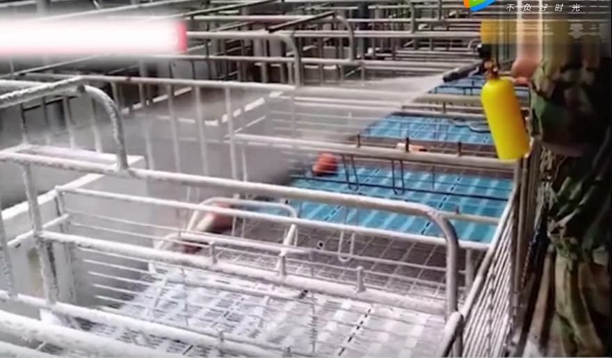 使用泡沫消毒剂消毒,猪场操作视频