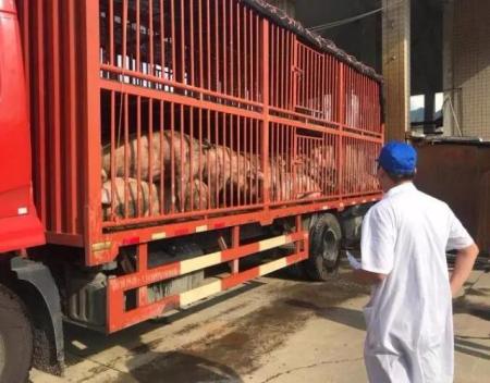 9835头家猪场&375头野猪场暴发疫情!非洲猪瘟防控是否可以做得更到位?