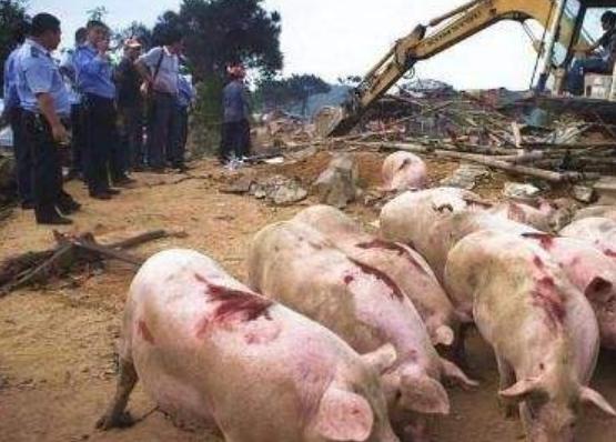 """广州 2000头""""黑猪""""被清理!"""