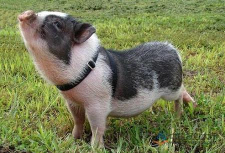 2018年12月7日(15至19公斤)仔猪价格行情走势