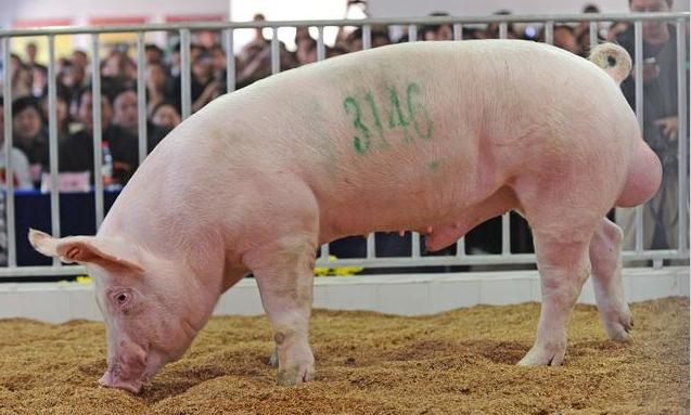 46期收测的种猪经非洲猪瘟相关实验室检测,结果完全合格!将如期进行拍卖投标