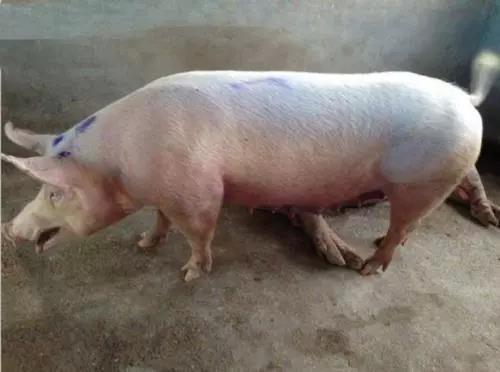 猪腹式呼吸治疗效果不佳?对症用药是关键!