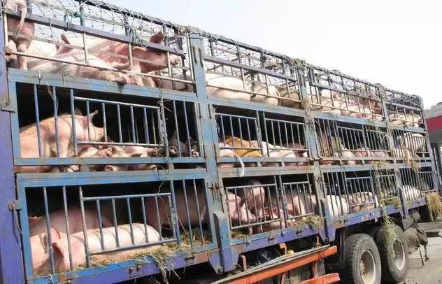 最近两天,为什么猪价迟迟不涨,反而下跌?