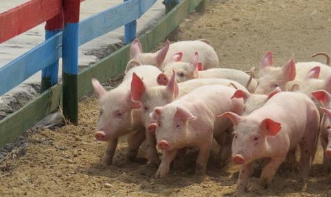 东三省猪价要涨是实锤?低价区徘徊的养猪人……