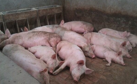 安徽裕安检验出病害猪437头