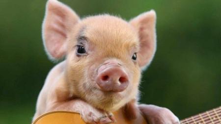 2018年12月13日(20至30公斤)仔猪价格行情走势