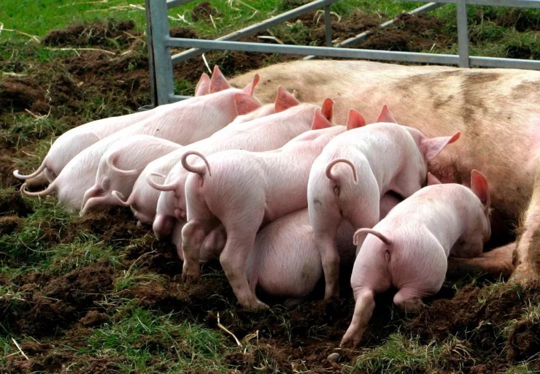 天气日渐转冷,口蹄疫防控养猪人一定要重视
