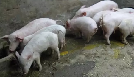 仔猪在产房没事,一断奶就拉稀,怎么回事?(下)