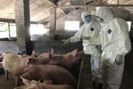 非洲猪瘟影响下,我国畜牧业反而提质增效?