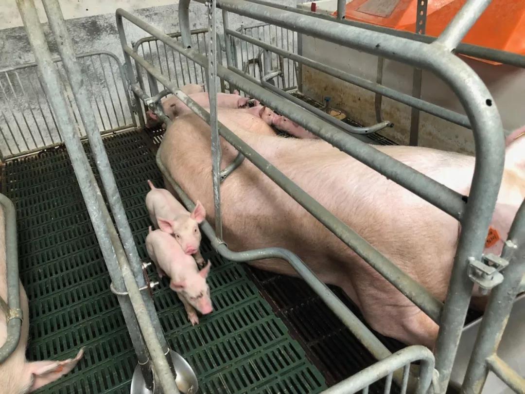 """母猪产后""""三联征""""不用愁,解决围产期问题有妙计"""
