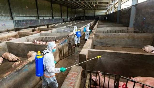 放心吃猪肉,非洲猪瘟不传染人!广东省农业农村厅就非洲猪瘟防控问题答记者问