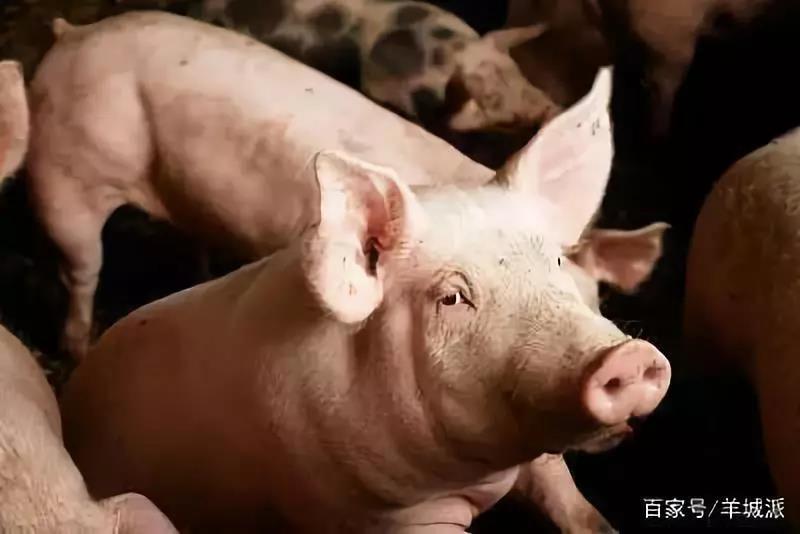 有法可依!执法机关草率销毁494头生猪,被判赔偿养户51万