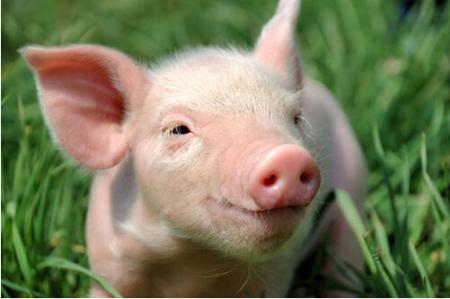 2018年12月21日(15至19公斤)仔猪价格行情走势