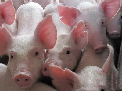 春节前猪价,入袋为安!