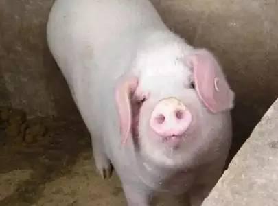母猪过肥过瘦对于发情影响重大,你注意过吗?