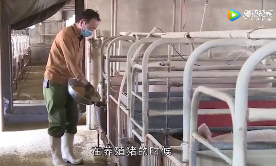 养猪时室内温度很重要,通过这几种方式,猪的长速可能更快一步