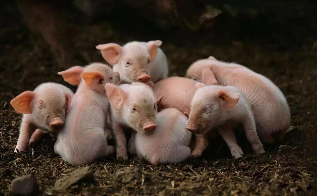 原来这样养猪真的可以降低生产成本啊!