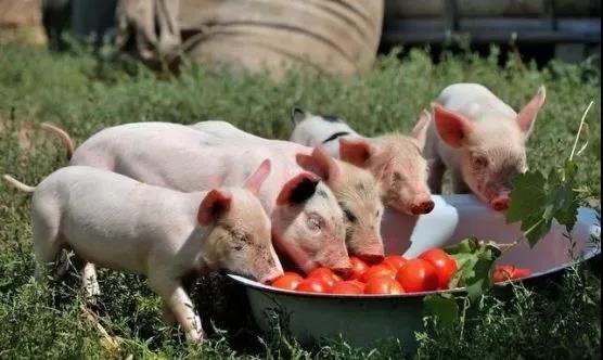 仔猪断奶前巧诱食,断奶后不腹泻,不掉膘,长得快!