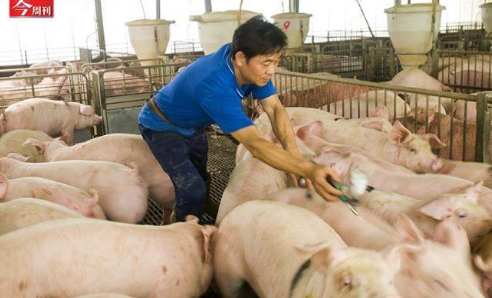防非洲猪瘟压境,台湾这两道防线非管不可