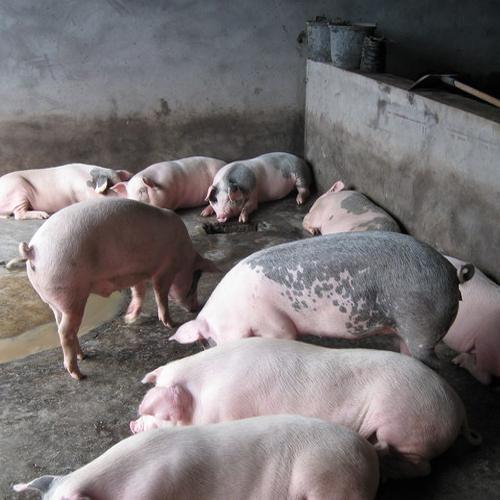 养猪场开到小区对面很闹心 当地回应:搬!