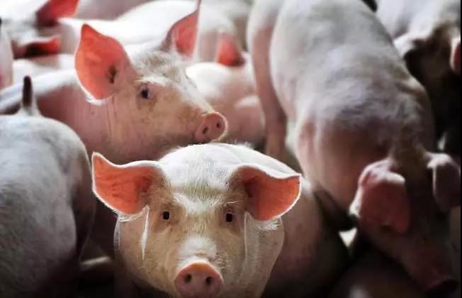 猪业2019:生存下来,再谈梦想!