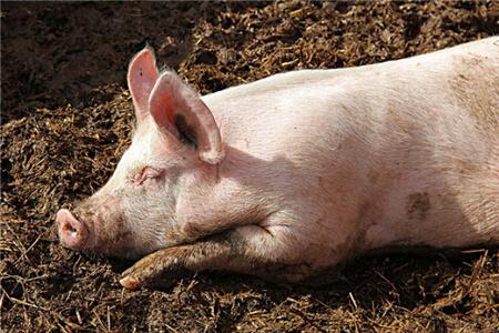 冬季的猪场久咳不愈,原因竟然是这……