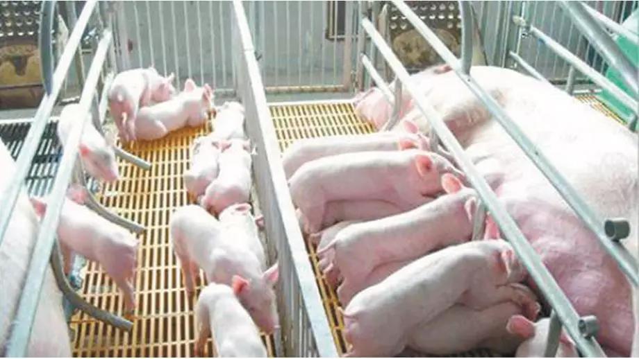 为何在非洲猪瘟形势下更要做猪瘟净化?