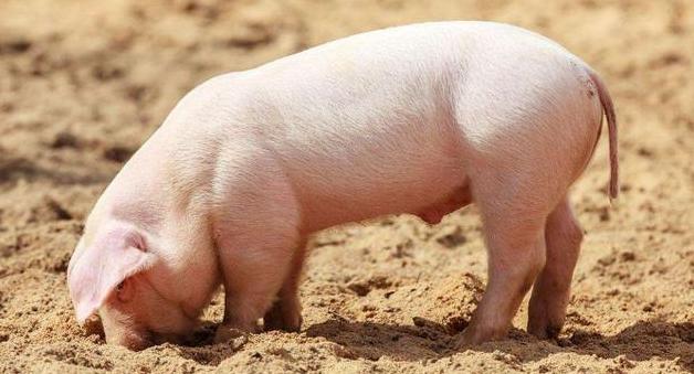 2019年什么时候买仔猪上栏?