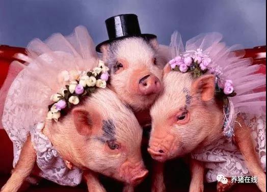 中国养猪更需要谁?说出来让你想不到!