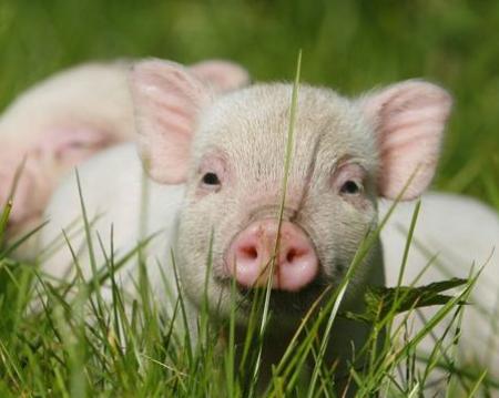 2019年1月8日(20至30公斤)仔猪价格行情走势