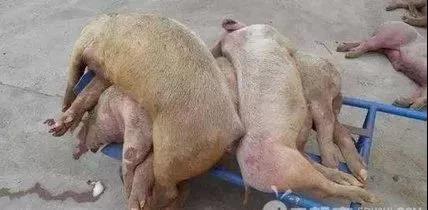 """刚刚颁布""""非洲猪瘟强制扑杀最新补助标准..."""