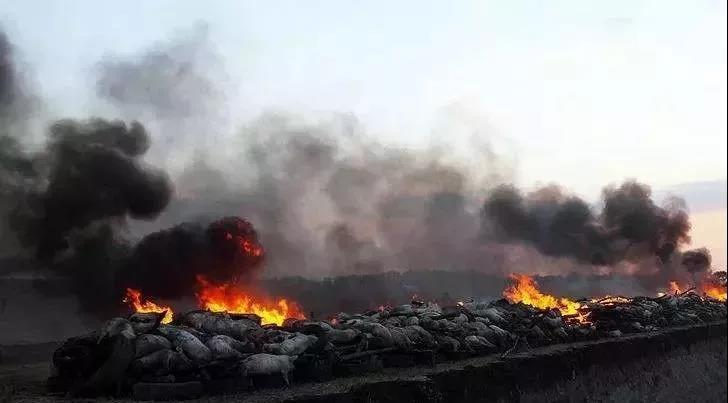 非洲猪瘟肆虐中国养殖业 已有85万头猪只被扑杀 多国禁止进口猪肉及饲料制品