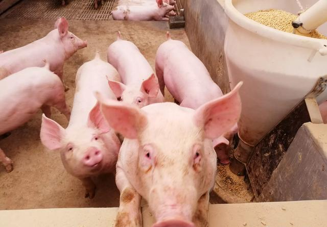 养殖户不明白:为啥发生非洲猪瘟猪场周边3公里以内生猪都要扑杀?