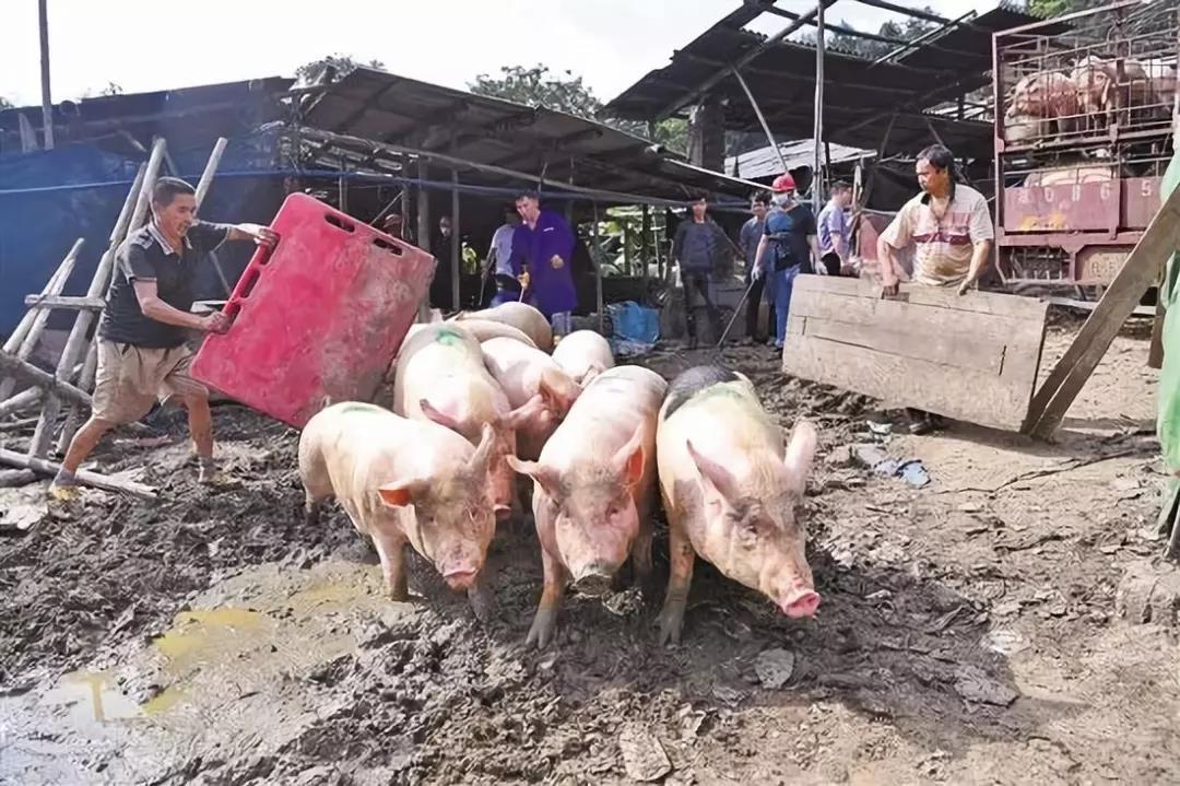广州凤凰山千头猪场被取缔,改造后变身市民公园