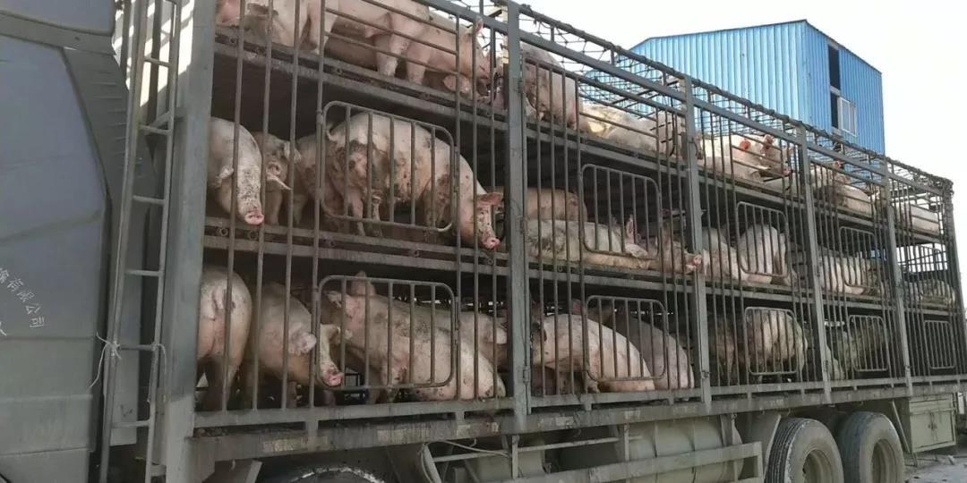 控制非洲猪瘟,应当重视第二源头
