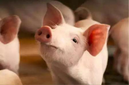 2019年1月11日(10至14公斤)仔猪价格行情走势