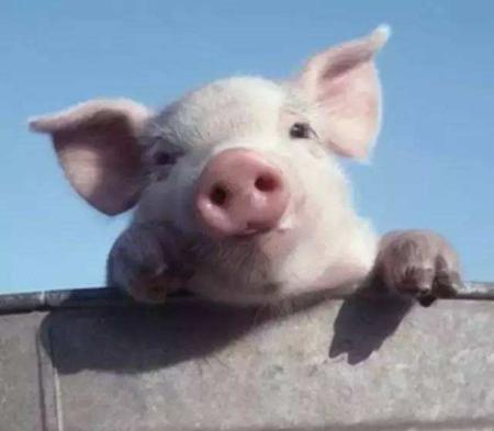 2019年1月11日(20至30公斤)仔猪价格行情走势